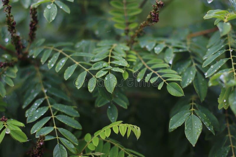 一棵金合欢的分支和叶子与露滴的 免版税库存照片
