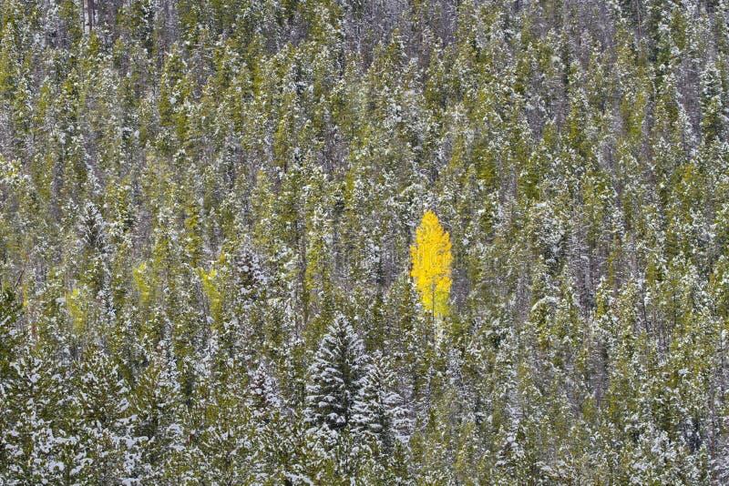 一棵金黄树在Co的洛矶山国家公园引人注意 免版税库存图片