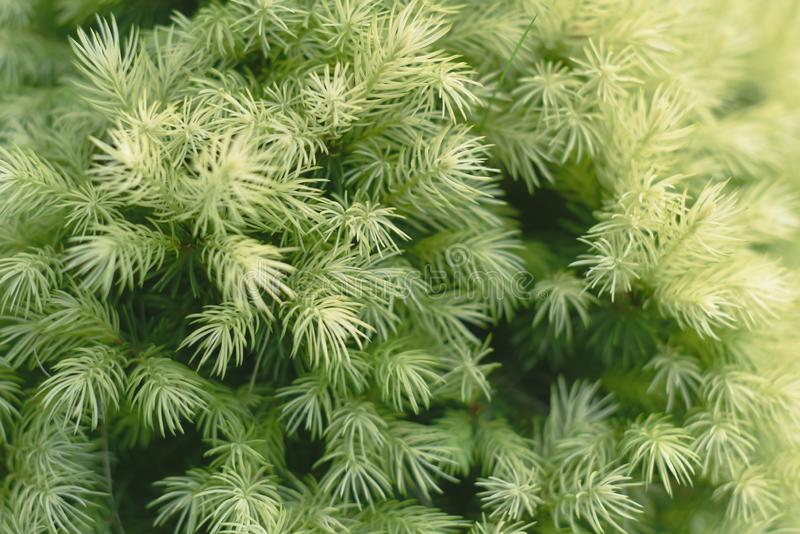一棵针叶树的年轻绿色针 库存照片