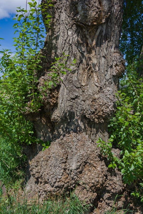 一棵非常老树的树干与成长特写镜头的 免版税库存照片