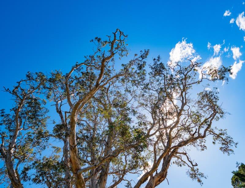 一棵高玉树的上面反对天空蔚蓝的 库存照片