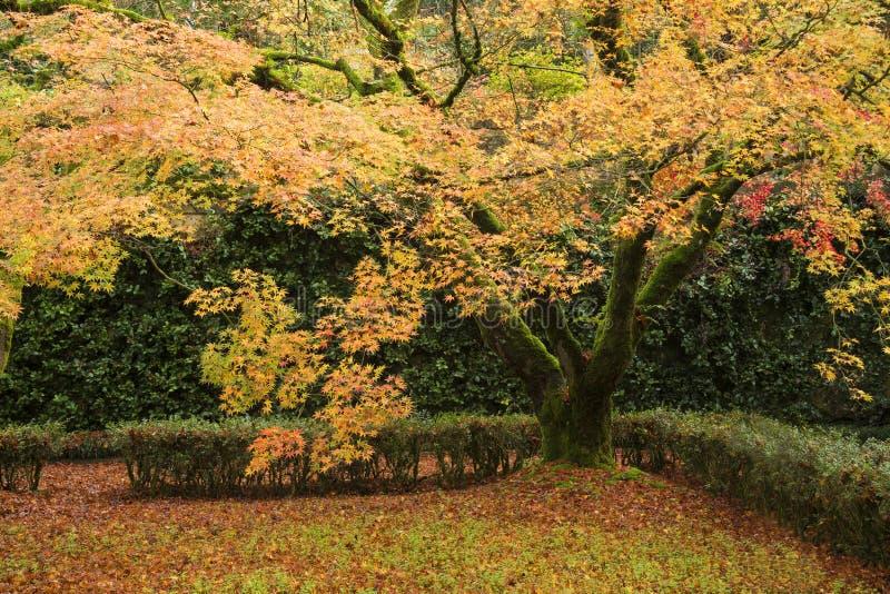 一棵鸡爪枫树的颜色在秋天 库存图片