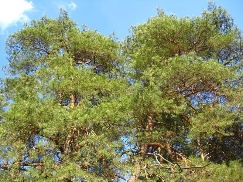 Download 一棵年轻杉木的分支 库存照片. 图片 包括有 航空, brander, 新鲜, 木头, 生活, 横向, 结构树 - 30328976