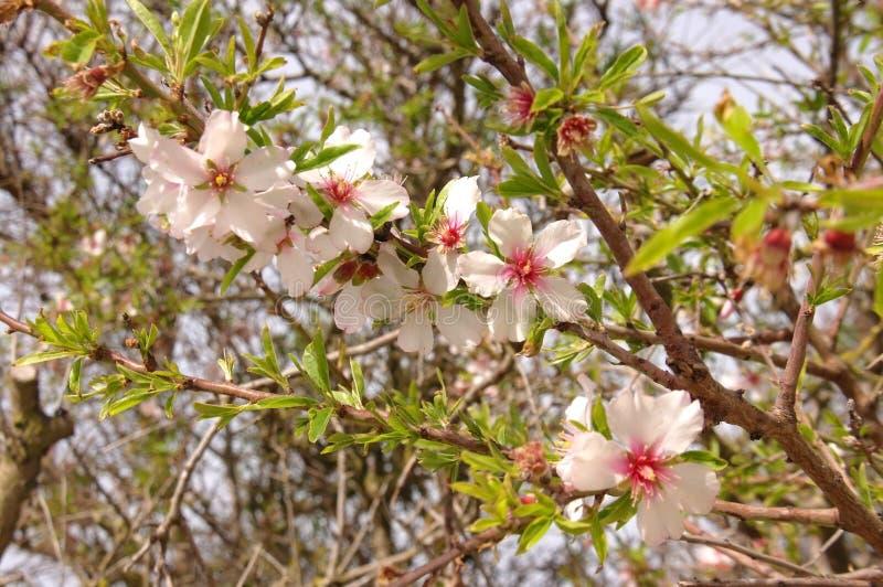 一棵洋李的开花的分支在春天 免版税图库摄影
