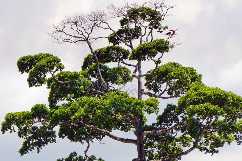 一棵统治热带树的冠 库存照片