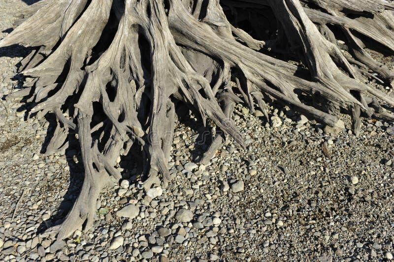 一棵死的树的根 免版税库存图片