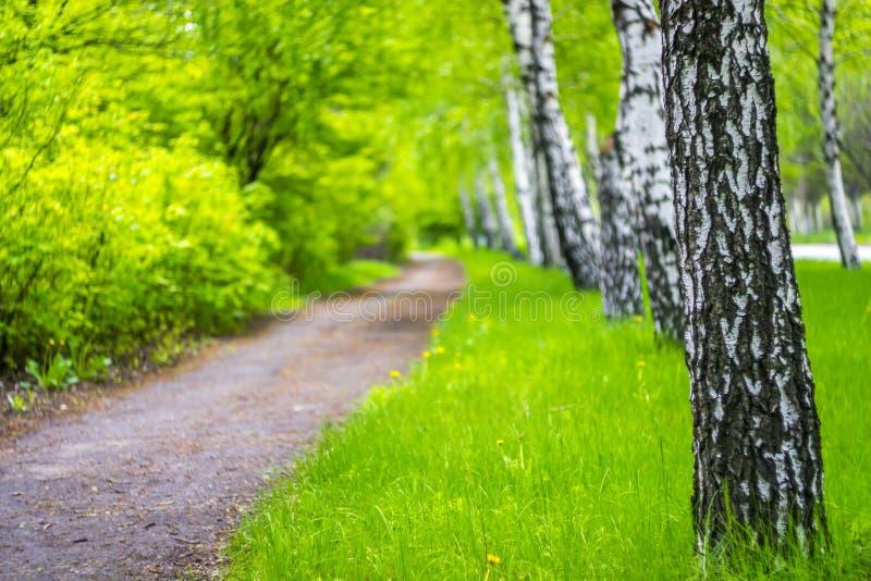 一棵年轻草围拢的桦树胡同在公园 库存图片