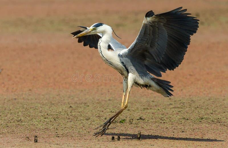 一次灰色苍鹭着陆在水中 免版税库存图片