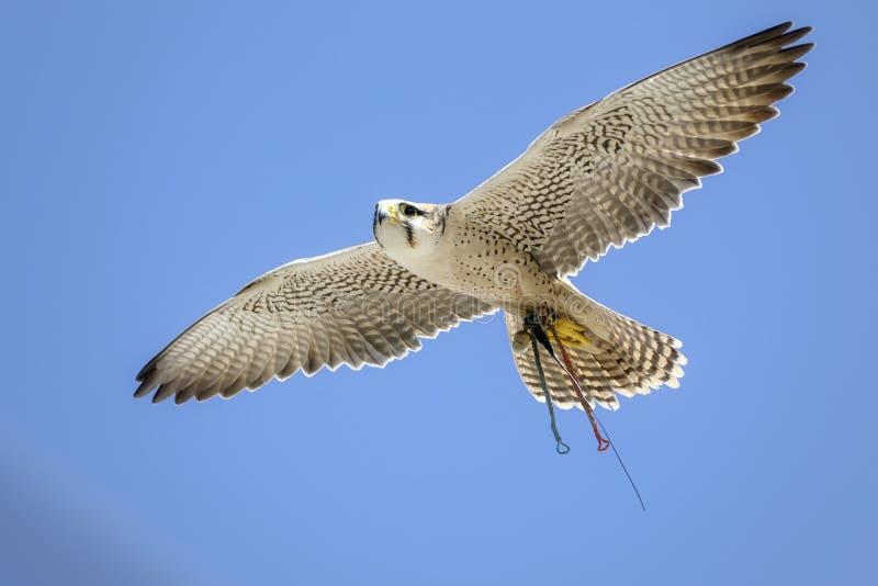一次飞行Gyrfalcon的画象在天空蔚蓝的 免版税库存照片