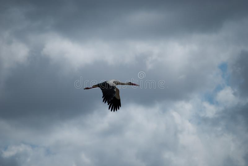 一次鹳飞行在伟大的Doňana国家公园在西班牙的南部的安大路西亚 免版税库存图片