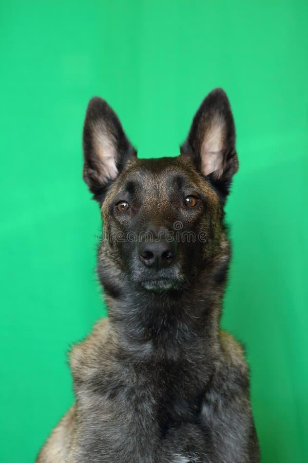 一比利时牧羊犬Malinois charbonnée的画象与头的一个骄傲和强有力的口岸的对殷勤扫视的 库存照片