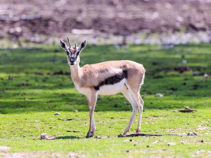 一汤姆生` s瞪羚Eudorcas thomsonii在牧场地站立并且看  库存照片