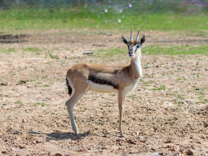 一汤姆生` s瞪羚Eudorcas thomsonii在牧场地站立并且看  图库摄影