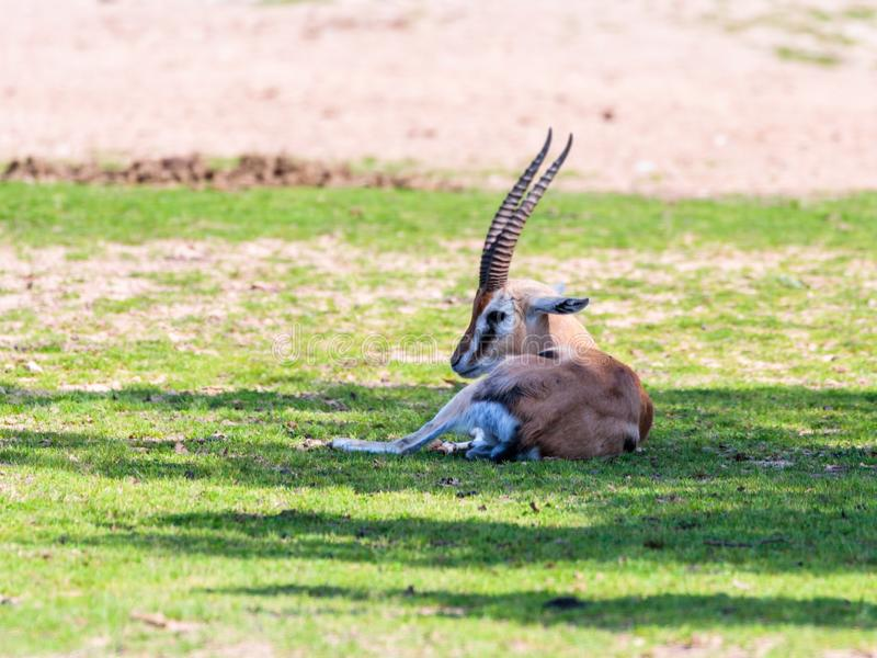 一汤姆生` s瞪羚Eudorcas thomsonii在牧场地说谎并且看  免版税库存照片