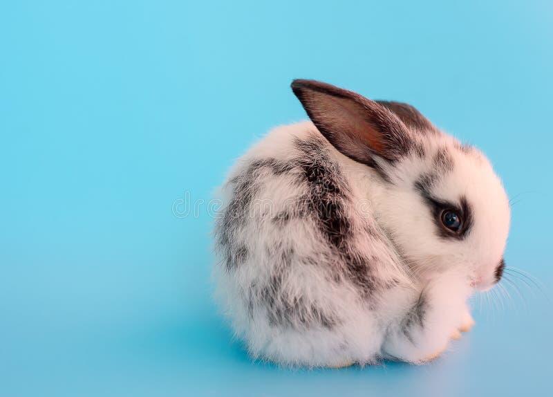 一点与另外行动的可爱的黑白小兔对蓝色背景 图库摄影