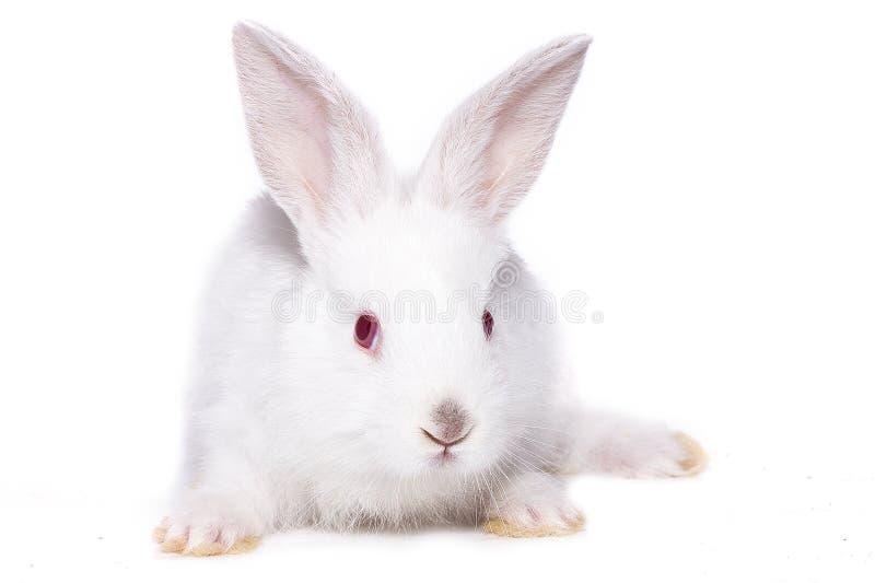 一点与红色眼睛的白色兔子,孤立 免版税库存图片