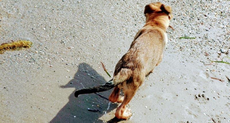 一点使用在海滩的小狗 免版税库存图片