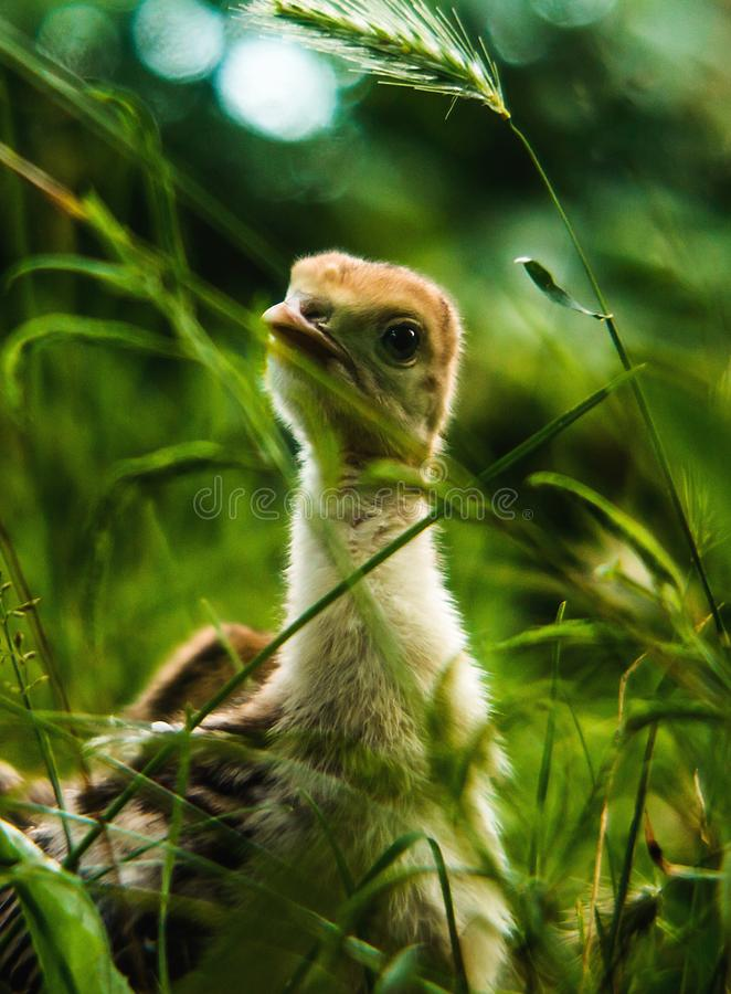 一点停留在草的逗人喜爱的火鸡小火鸡 图库摄影