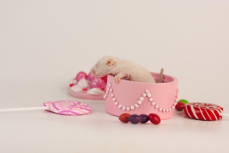 一点在一个箱子的鼠在甜点背景  啮齿目动物崽用糖果 免版税图库摄影