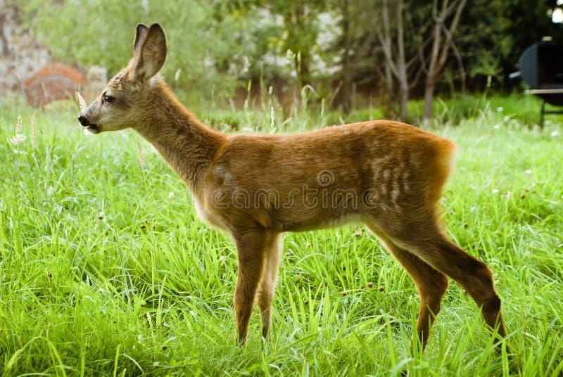一点在一个草甸的鹿有绿草的 免版税库存照片
