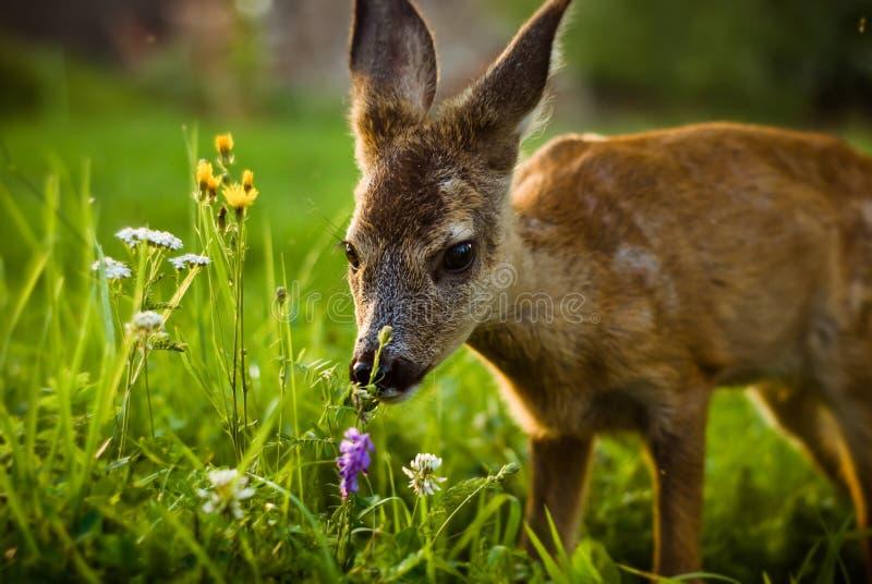 一点在一个草甸的鹿有绿草的 免版税库存图片