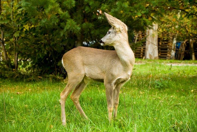 一点在一个草甸的鹿有绿草的 图库摄影