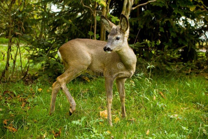一点在一个草甸的鹿有绿草的 免版税图库摄影