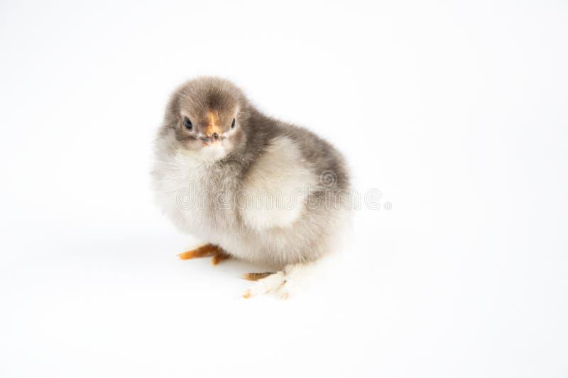 一点在一张白色桌上的鸡 r 免版税库存图片