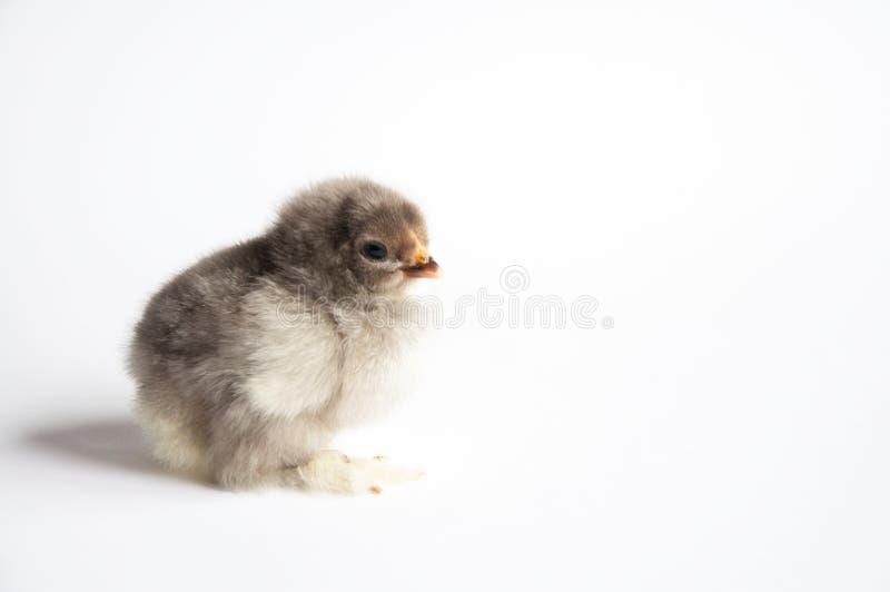 一点在一张白色桌上的鸡 r 免版税库存照片