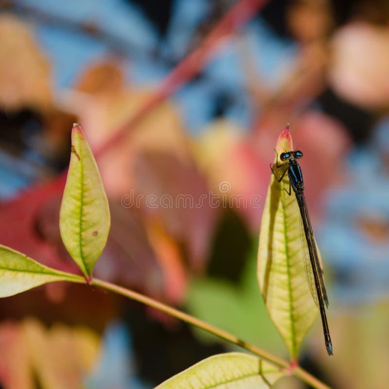 一点在分支栖息的蓝色蜻蜓 免版税图库摄影