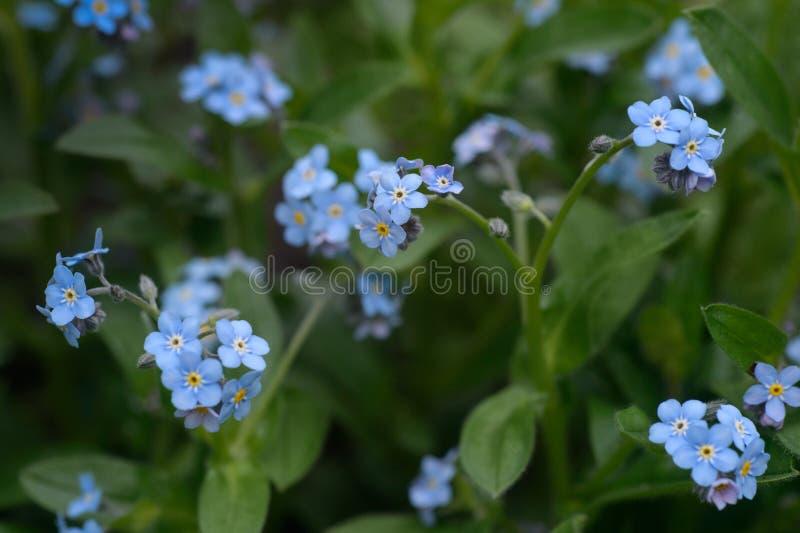 一点在春天草甸的蓝色勿忘草花 r 免版税库存照片