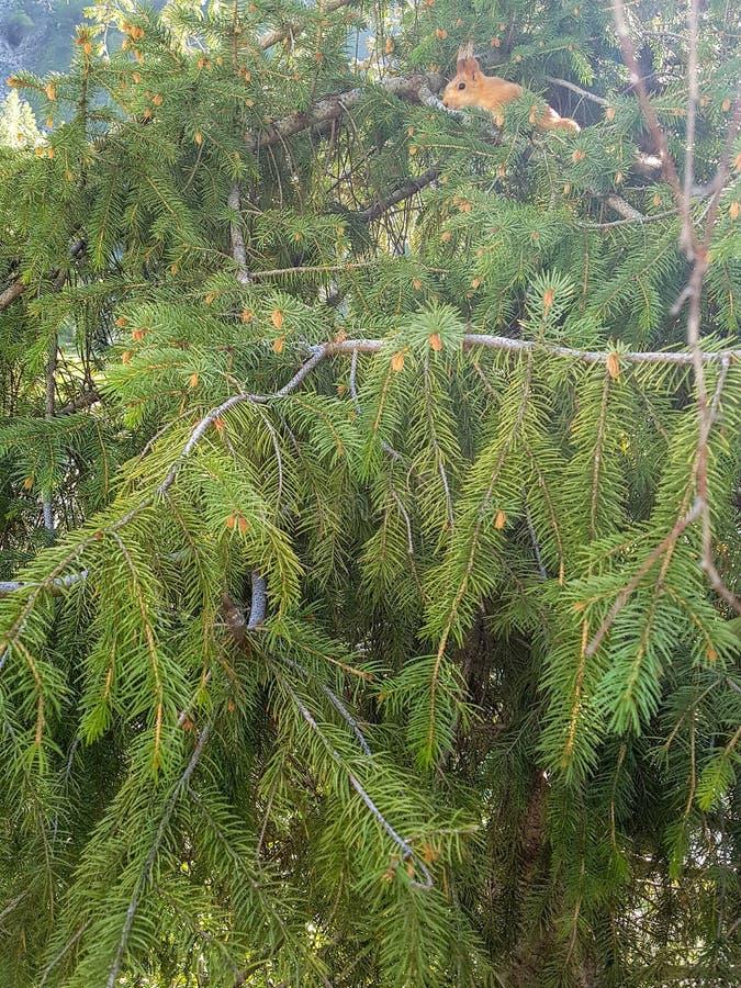 一点在松树的灰鼠 库存照片
