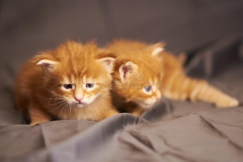 一点在灰色背景的逗人喜爱的红色小猫缅因浣熊谎言 免版税库存图片