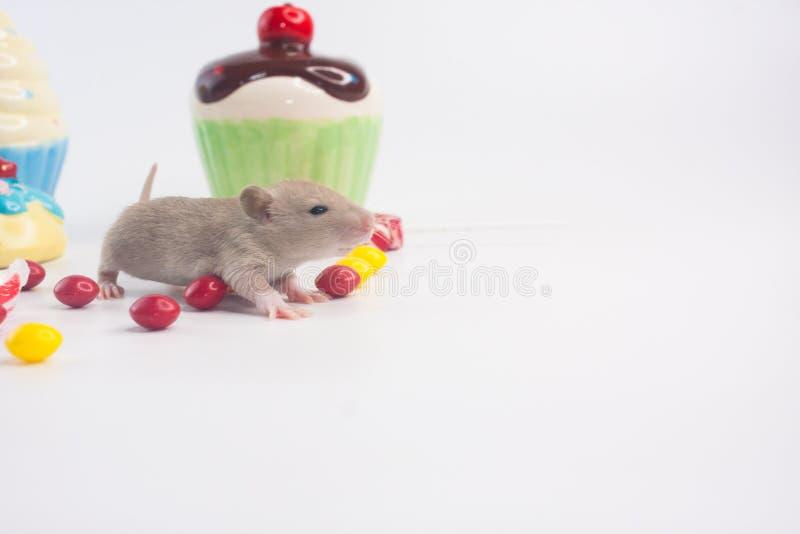 一点在甜点背景的老鼠  一只鼠用杯形蛋糕 图库摄影
