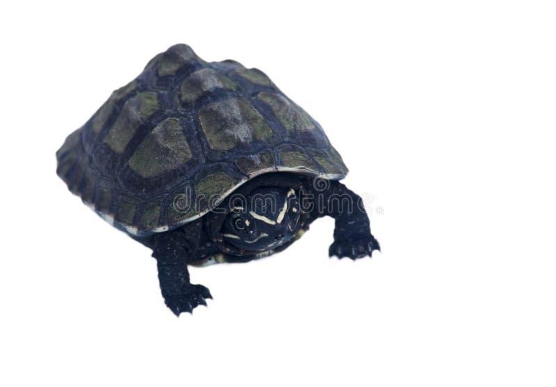 一点在白色背景隔绝的乌龟 图库摄影