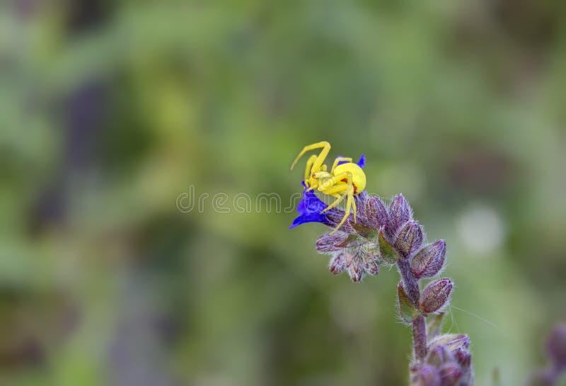 一点在花的黄色蜘蛛 图库摄影