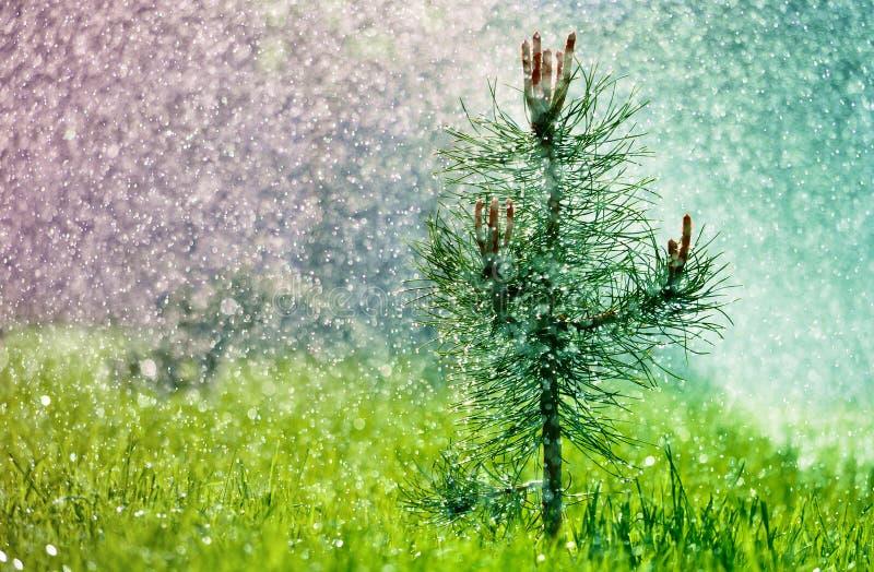 一点在草的绿色杉木在夏天雨下 免版税图库摄影