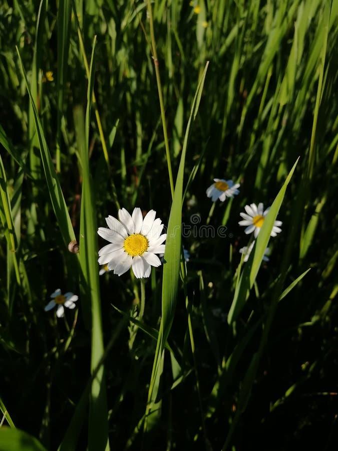 一点在领域的雏菊 免版税图库摄影