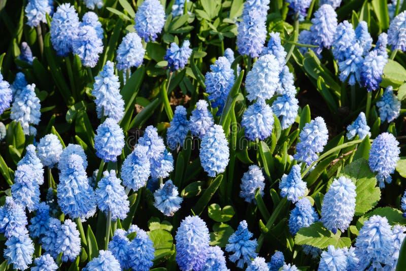 一点开花的蓝色花 免版税库存图片