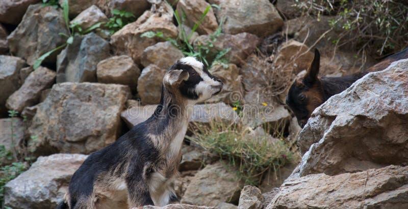 一点攀登往朋友的山羊一条岩石道路 免版税图库摄影
