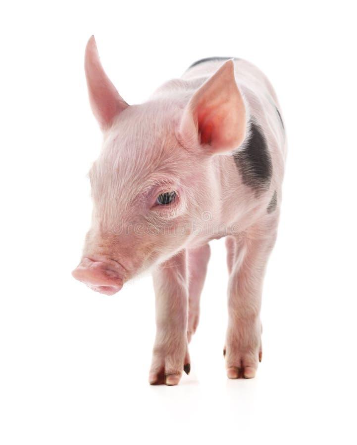 一点桃红色猪 免版税库存照片