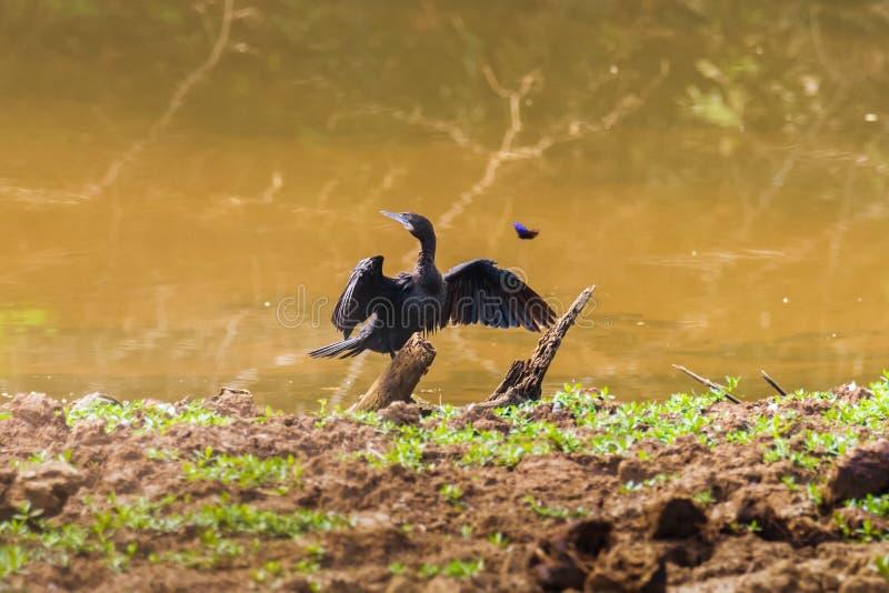 一点泰国的鸬鹚爪哇鸬鹚鸟 库存照片