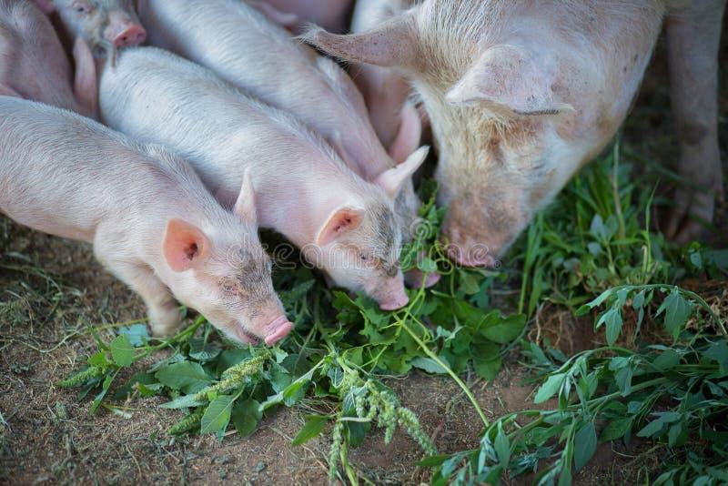 一点猪在有母猪的猪圈吃一棵草 库存照片. 图片 包括图片