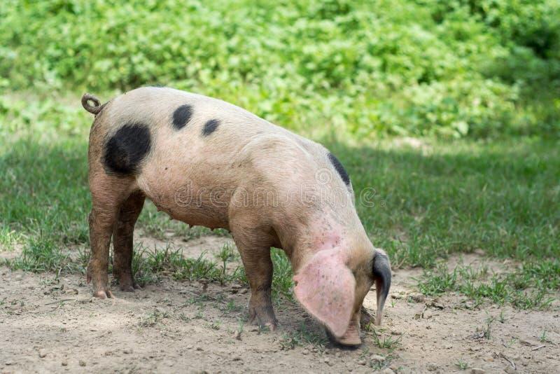 一点猪开掘 免版税库存照片