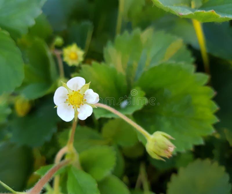 一点白色草莓花本质上 免版税库存图片