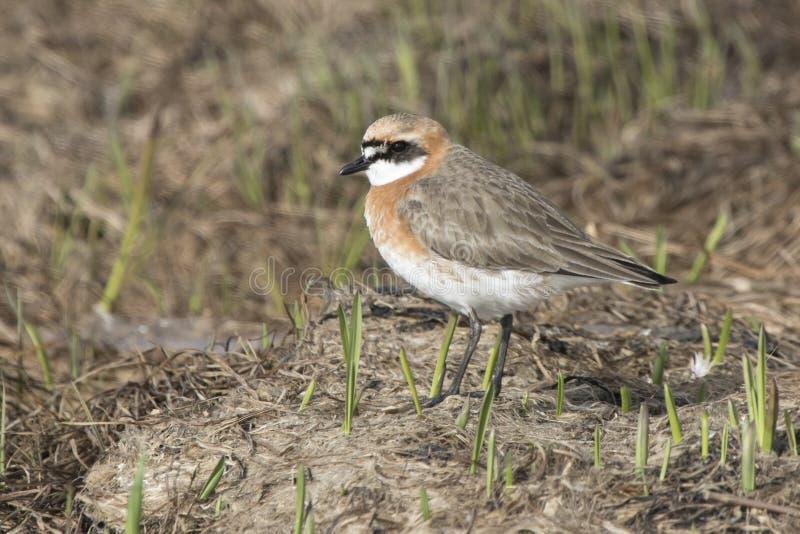 一点站立在sprin的低草中的沙子珩科鸟 免版税库存照片