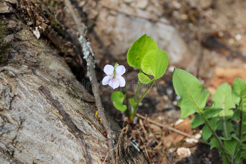 一点紫罗兰在春天森林 库存照片