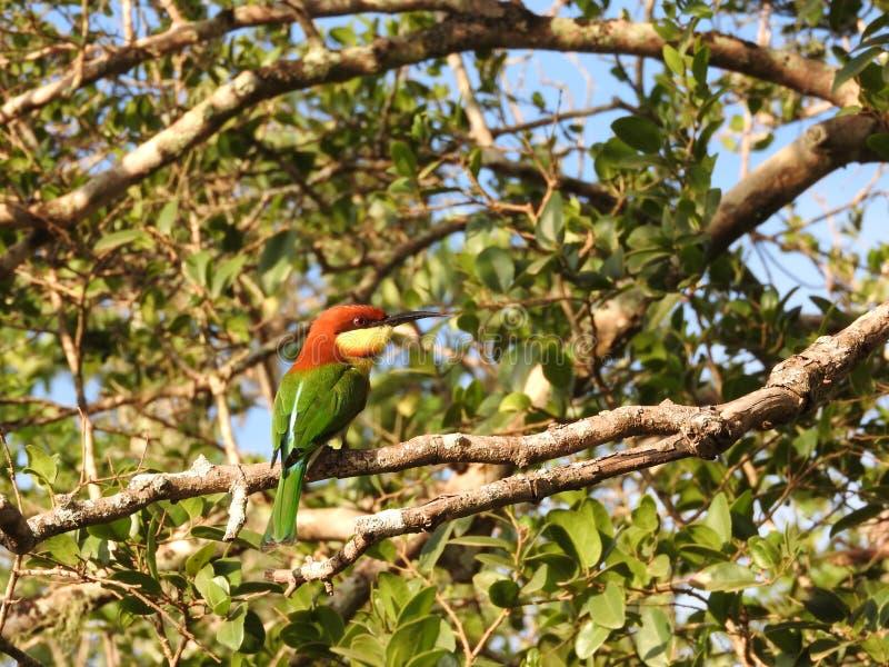 一点绿色食蜂鸟坐分支,自然斯里兰卡 图库摄影