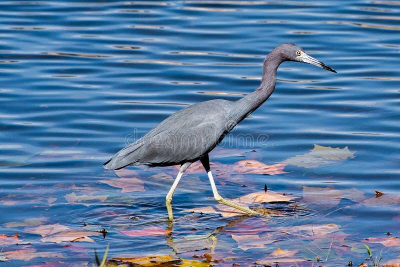 一点蓝色苍鹭涉过通过水 免版税库存图片