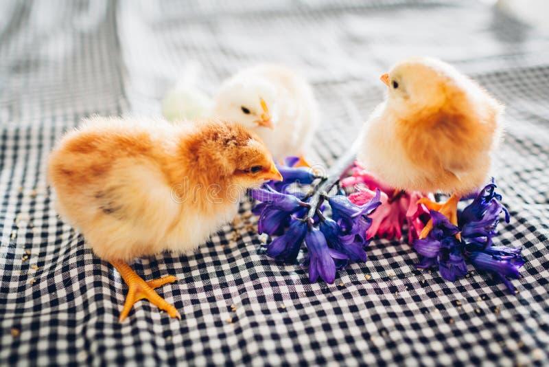 复活节鸡 一点走在花和复活节彩蛋中的黑小鸡 库存照片